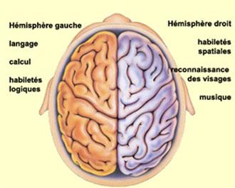 Quelle est la Différence entre le Cerveau Droit et le Cerveau Gauche